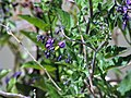 Solanum dulcamara. Dulcamara.jpg