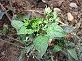 Solanum nigrum subsp. nigrum sl42.jpg