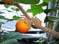 Solanum pseudolulo fruit.jpg