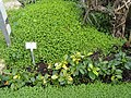 Soleirolia soleirolii - Botanischer Garten Freiburg - DSC06343.jpg