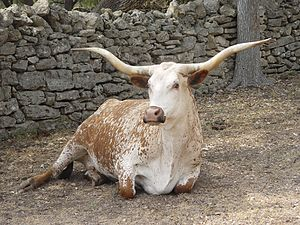 A longhorn in Texas, apparently kept as a pasture pet..