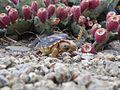 Sonoran Desert Tortoise FWS 11910.jpg