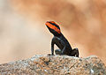 South Indian rock agama (Male, Breeding colors).jpg