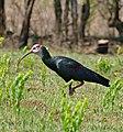 Southern Bald Ibis (Geronticus calvus) (32384339582).jpg