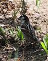 Spanish Sparrow (5768003454).jpg