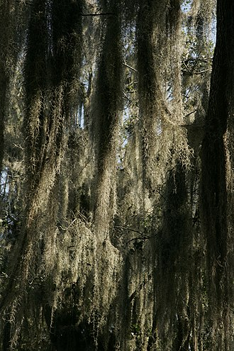 Santa Ana National Wildlife Refuge - Spanish moss growing on trees in the refuge