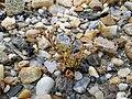 Spergularia marina sl55.jpg