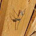 Spider eating a common blue damselfly (Enallagma cyathigera), Sandy, Bedfordshire (8905792148).jpg