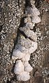 Split gill (51334607960).jpg
