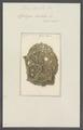 Spongia cratitia - - Print - Iconographia Zoologica - Special Collections University of Amsterdam - UBAINV0274 112 02 0033.tif