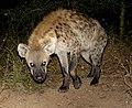 Spotted Hyena, Limpopo, ZA.jpg