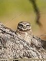 Spotted Owlet (Athene brama) (39399496694).jpg