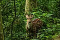 Spotted deer stag, Chitwan National Park.jpg