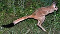 Spring Hare (Pedetes capensis) (6042009463).jpg