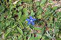Spring gentian - Gentiana verna - panoramio (3).jpg