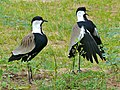 Spur-winged Lapwings (Vanellus spinosus) (6861335037).jpg
