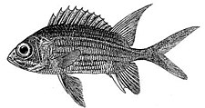 Squirrelfish.jpg