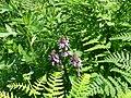 Stachys palustris. 01.jpg