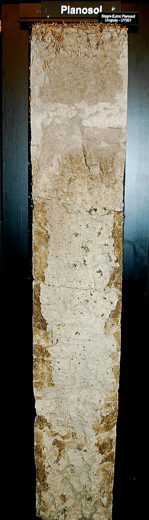 Planosol - Soil profile of a stagni-eutric Planosol