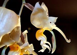 Stanhopea embreei - Image: Stan embreei flwr