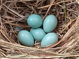 Starling eggs.jpeg