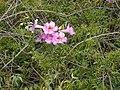 Starr-010423-0026-Podranea ricasoliana-flowers and leaves-Kula-Maui (23904195014).jpg