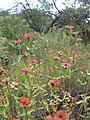 Starr-040513-0044-Zinnia peruviana-flowers-Puu o Kali-Maui (24406734590).jpg