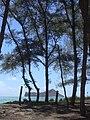 Starr-040711-0102-Casuarina equisetifolia-view-Waimanalo-Oahu (24418507650).jpg