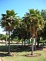 Starr-050303-4805-Pritchardia sp-grove-Maui Nui Botanical Garden-Maui (24111584784).jpg
