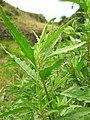 Starr-050816-3670-Dysphania ambrosioides-leaves-Waiale Gulch-Maui (24801964455).jpg