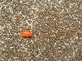 Starr-060922-9164-Clusia rosea-pulpy seeds-Kahului Airport-Maui (24238910293).jpg