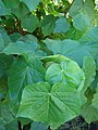 Starr-071024-0010-Dombeya x cayeuxii-leaves-Enchanting Floral Gardens of Kula-Maui (24597876760).jpg