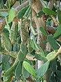 Starr-080531-4879-Opuntia cochenillifera-flowering habit-Halsey Dr around residences Sand Island-Midway Atoll (24282775124).jpg