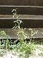 Starr-080607-7288-Sonchus oleraceus-flowering habit-Old galley Sand Island-Midway Atoll (24548219139).jpg