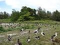 Starr-080608-7699-Terminalia catappa-habit with Laysan albatross-West Beach Sand Island-Midway Atoll (24621452370).jpg