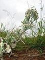 Starr-081230-0729-Conyza bonariensis-seedheads-LZ1-Kahoolawe (24834027511).jpg