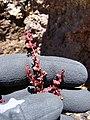 Starr-090504-7268-Rumex acetosella-flowers-Science City-Maui (24927930326).jpg