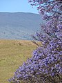 Starr-090514-7779-Jacaranda mimosifolia-flowers-Kula-Maui (24928866046).jpg