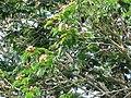 Starr-091104-0830-Serianthes kanehirae-flowers seedpods and leaves-Kahanu Gardens NTBG Kaeleku Hana-Maui (24692169710).jpg