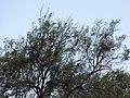 Starr-091222-0862-Tamarix aphylla-habitat and ricebirds-K1-Kahoolawe (24899431871).jpg