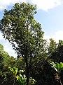 Starr-110330-3877-Cinnamomum camphora-habit-Garden of Eden Keanae-Maui (24450200884).jpg
