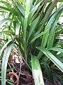 Starr-110411-4948-Dianella sandwicensis-leaves form sandwicensis-Hawea Pl Olinda-Maui (24964355162).jpg