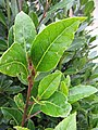 Starr-120305-3522-Laurus nobilis-leaves-Park Building 11 HNP-Maui (24506716444).jpg