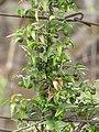 Starr-120403-4153-Asparagus asparagoides-fruit and leaves-Kula-Maui (25138524655).jpg