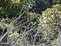 Starr-141229-3206-Cinnamomum camphora-habit with chestnut munia-Hoku Nui Piiholo-Maui (24881332339).jpg