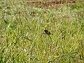 Starr-141229-3352-Paspalum urvillei-seeding habit with Scaly breasted munia-Hoku Nui Piiholo-Maui (25224189176).jpg