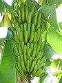 Starr-151029-0373-Musa x paradisiaca-Maia Maoli Manaiula fruit-Maui Nui Botanical Garden Kahului-Maui (26009590380).jpg