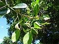 Starr-151029-0374-Ficus benjamina-stem galls leaf galls and Cuban laurel thrips-Maui Nui Botanical Garden Kahului-Maui (26282457695).jpg