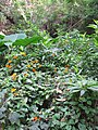 Starr-160210-3753-Thunbergia alata-flowering habit filling gulch-Hawea Pl Olinda-Maui (26947477165).jpg