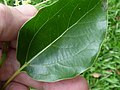 Starr-180406-0744-Cinnamomum camphora-leaf-DOFAW Arboretum Hilo-Hawaii (26498119777).jpg